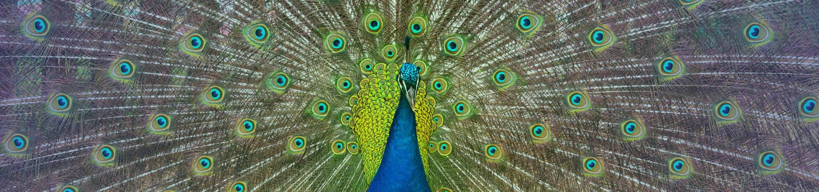 peacock-1600x375